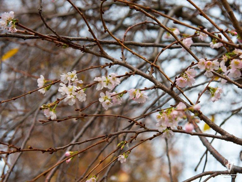 На Закарпатье осенью расцвела сакура. Цветы распустились на деревьях в Мукачево из-за теплой погоды.