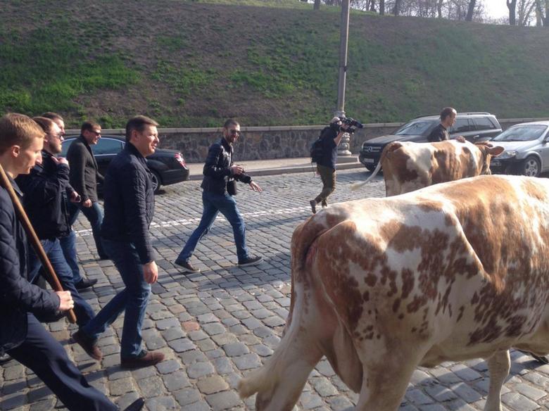 Лідер Радикальної партії Олег Ляшко влаштував черговий перформанс: вулицею Грушевського в бік Кабміну він піднявся в супроводі двох корів.