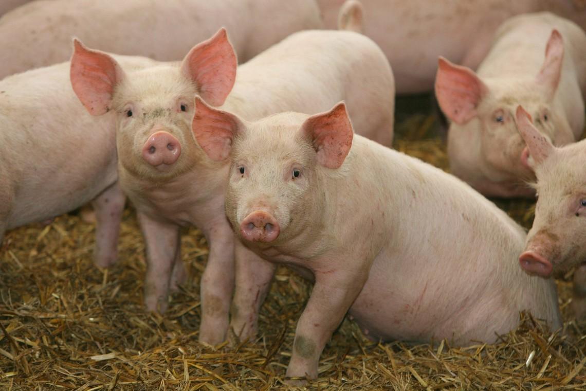 В одному з районів міста рішенням міської ради оголошено карантин у зв'язку з африканською чумою свиней.