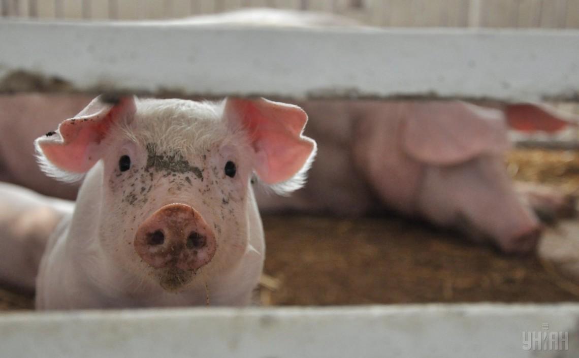 Новая вспышка африканской чумы свиней— сейчас вКиевской области