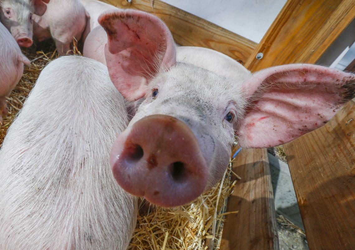 ВЗапорожской области зафиксировано третий случай заболевания животных АЧС