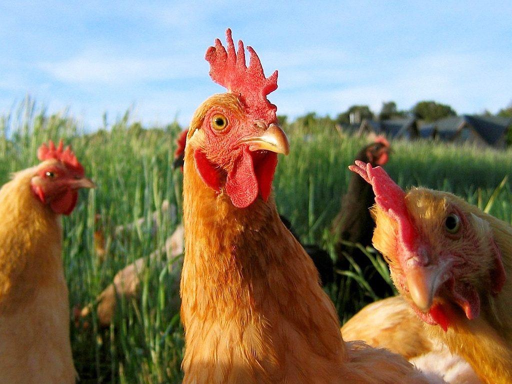 ОАЭ сняли ограничения наввоз продуктов птицеводства из Украинского государства