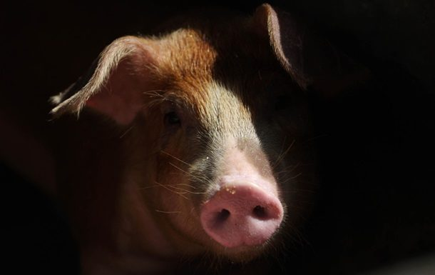 В 2-х областях государства Украины зафиксировали вспышку чумы свиней
