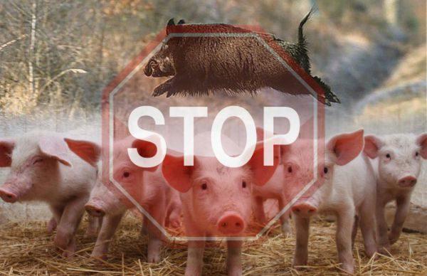 НаКиевщине очередной вспышки африканской чумы свиней